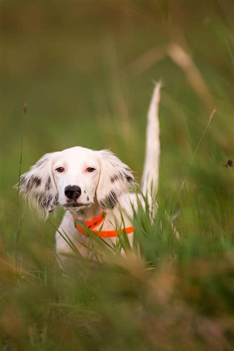 english setter gun dog breeders lightning flash english setters northeast hunting dogs on