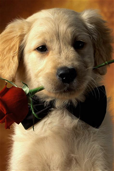 golden retriever phone golden retriever puppy 1 animal iphone wallpapers iphone 5 s 4 s 3g wallpapers