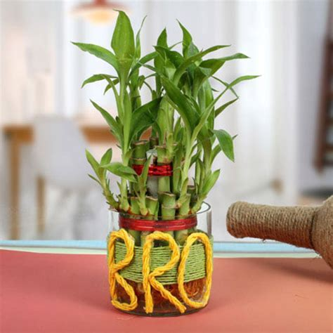 Send Lucky Bamboo For Brother Online from BookMyFlowers