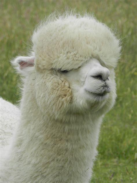 bildet har pels sau fauna chile llama alpakka furry  virveldyr sor amerika