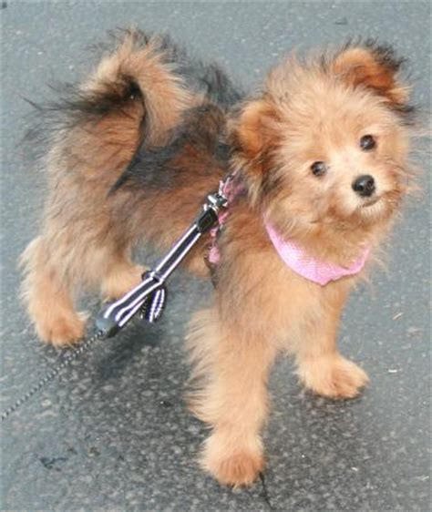 pomeranian grown size pomapoo pomeranian poodle mix info temperament puppies