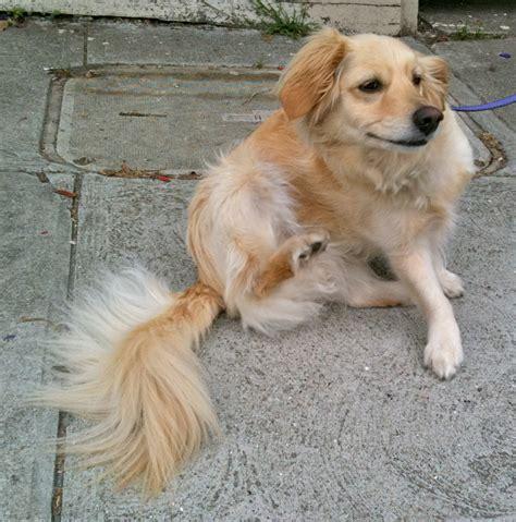 poodle golden retriever mix pictures of the day greta the golden retriever poodle mix the dogs of san francisco