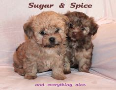 sugar and spice shih tzu chang e 3 on