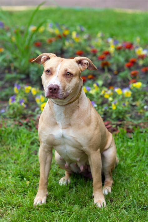 pitbull breed american pit bull terrier breed gallery