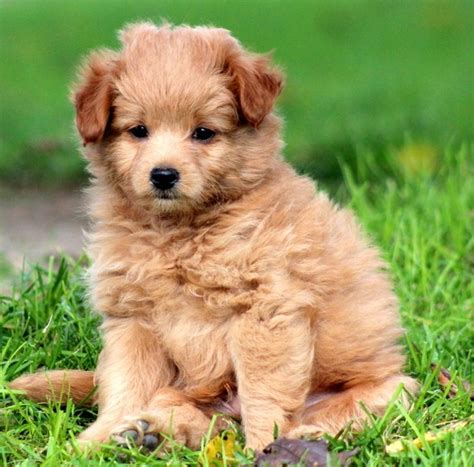 pomeranian poodle mix puppies pomapoo pomeranian poodle mix info temperament puppies pictures