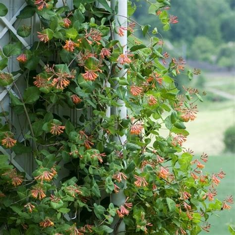Plante Grimpante Qui Pousse Vite by Plante Grimpante Persistante Liste Ooreka