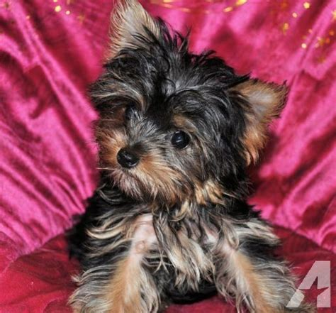 yorkies for sale in illinois tiny yorkie puppy for sale in darwin illinois classified americanlisted