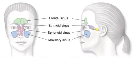 sinuses diagram balloon sinuplasty ent doctor in hagerstown md and