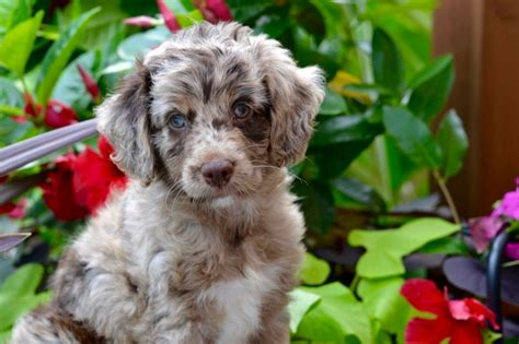 aussiepoo puppies about aussiedoodles aussiedoodle puppies for sale aussiedoodles and aussiepoo puppies