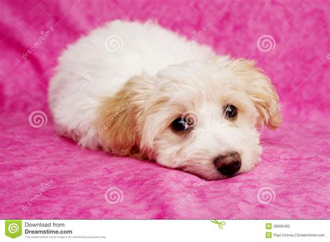 puppies on puppy laid on a pink background stock photography image 28900462