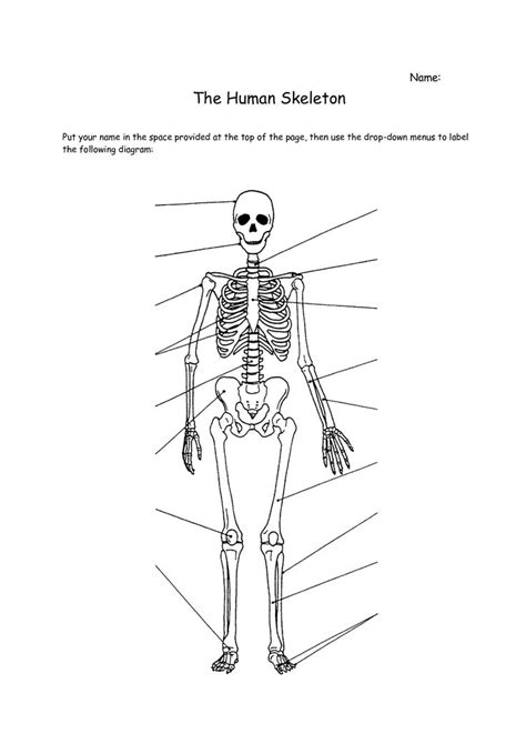 Human Skeleton Worksheet   Skeletal system worksheet
