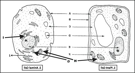printable animal and plant cell quiz diagram simple diagram blank animal cell