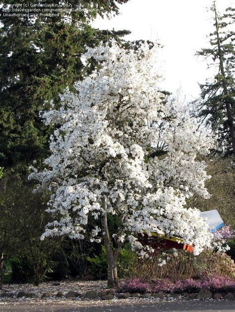 Garden Forums by Plantfiles Pictures Kobus Magnolia Magnolia Kobus By