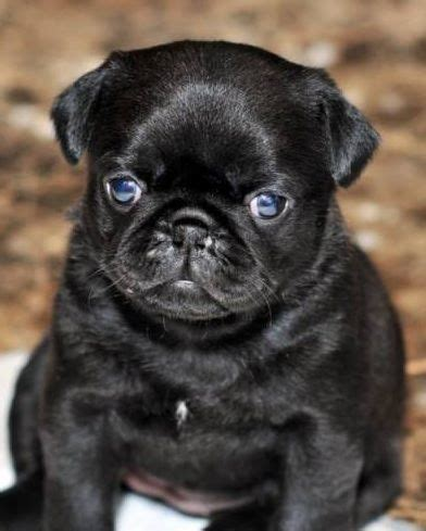 pug with blue 10 images about black pug puppies on vine compilation pugs and pug