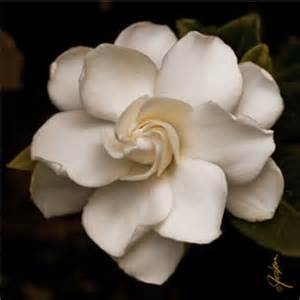 Gardenia Flower Drawing Gardenia My Fav Flower This Shading For A And