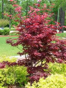 japanese maple bloodgood care dog breeds picture