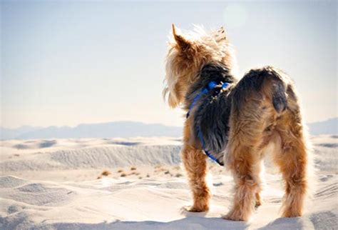 history of large yorkshire terriers with floppy ears common health problems for popular dog breeds in pictures