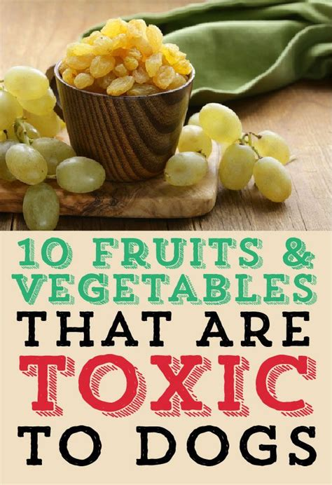 can yorkies eat fruit best 25 toxic foods ideas on safe food toxic foods for dogs and canned