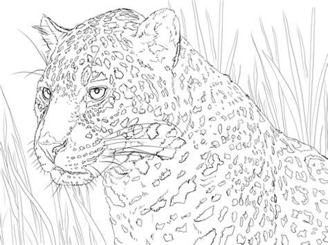 ausmalbild jaguar im portraet ausmalbilder kostenlos zum