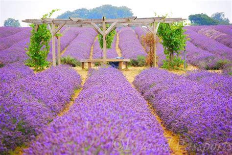 a bohemian getaway mayfield lavender farm london