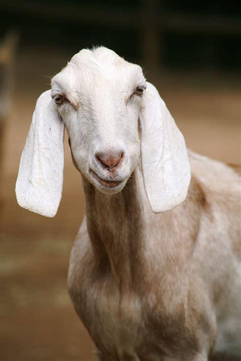 white goat eating grass  daytime  stock photo