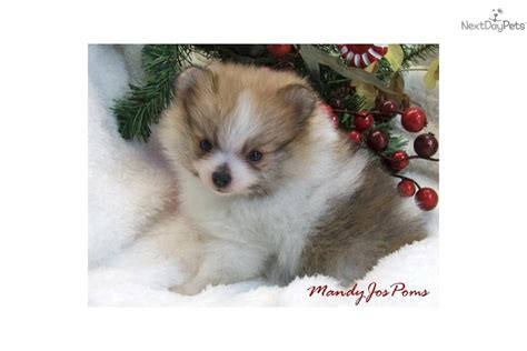 baby pomeranian for sale photo chiot trop mignon quotes quotes