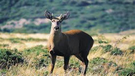 el huemul uno de los representantes del escudo nacional el huemul del sur o chileno es uno de los mam 237 feros m 225 s