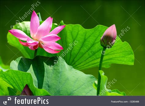 focus photography of pink lotus flower in bloom water pink lotus flower blooming in pond photo