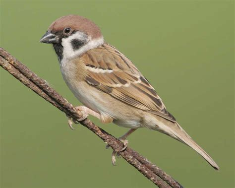 bird l eurasian tree sparrow audubon field guide