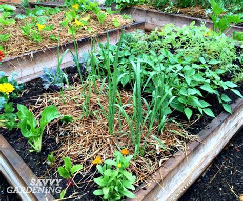 garden vegetable rice growing rice in my backyard vegetable garden