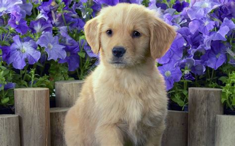 large golden retriever breeders golden retriever all big breeds