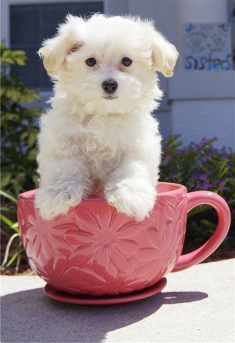 maltese puppies for free lovely teacup maltese puppy for free adoption