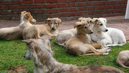 silken windhound puppies puppies