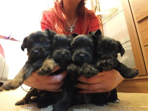 small puppies for sale small dogs for sale breeds picture