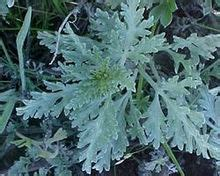 ragweed wikipedia