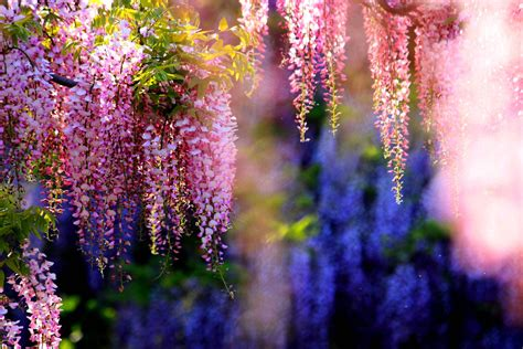 free wallpaper and backgrounds wisteria wallpapers wallpaper cave