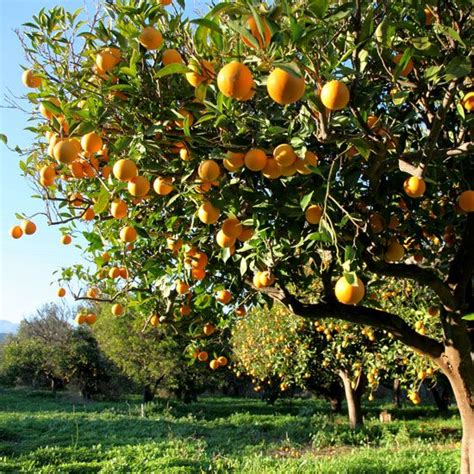 17 best ideas about orchards on apple tree