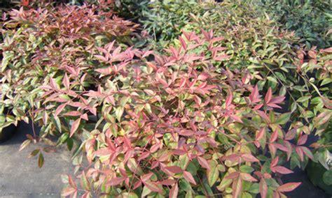 small evergreen shrubs 28 images best 25 evergreen shrubs ideas on pinterest shrubs dwarf
