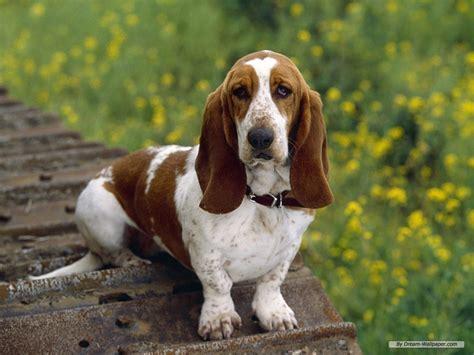 hound puppies basset hound 組圖 影片 的最新詳盡資料 必看 www go2tutor