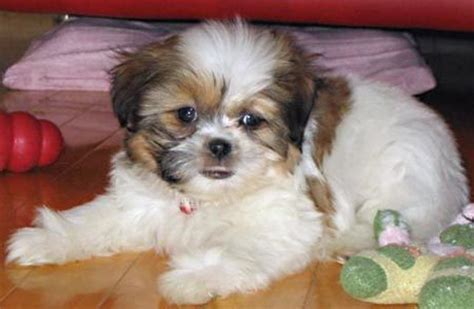 bichon shih tzu puppy tashu the bichon frise shih tzu mix puppies daily puppy