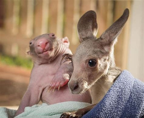 adorable friendship between baby kangaroo and baby wombat