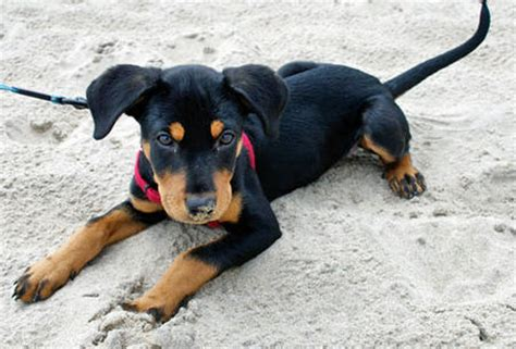 rottweiler basset hound mix finley the golden retriever puppies daily puppy breeds picture