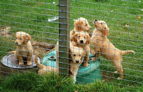golden retriever puppies dorset golden retriever puppies quotes