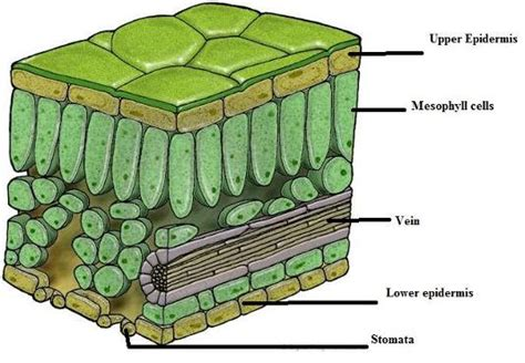 labeled leaf cross section draw a labelled diagram of cross section of leaf 2664046