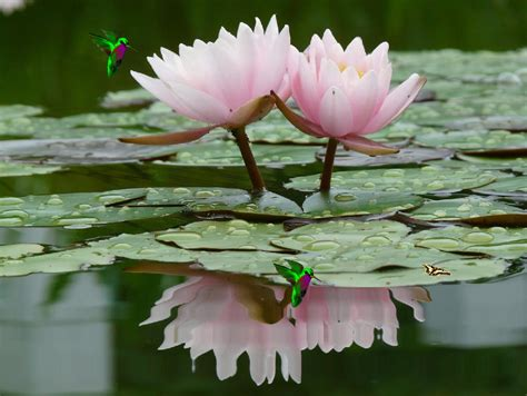 water flower bloom water sparkle lotus flower water pads blooms on water lilies lotus and