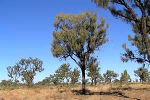 desert oak trees