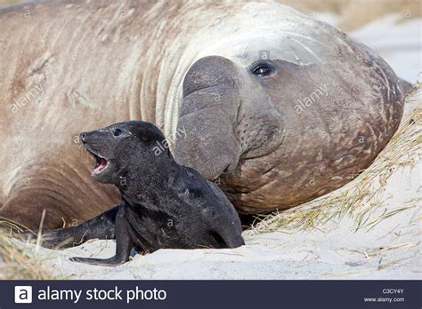 Show Me A Picture Of An Elephant Seal southern elephant seal mirounga leonina bull with baby