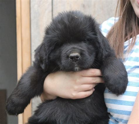 newfoundland puppies california newfoundland puppies
