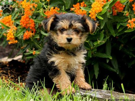 yorkies for sale in pa 1000 images about yorkie mix puppies for sale on