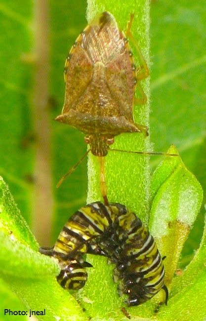 Caterpillar Predator caterpillar defenses living with insects